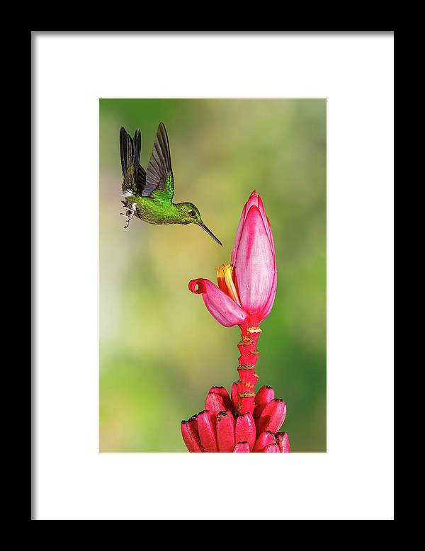 Green-crowned Brilliant Framed Print featuring the photograph Hummingbird , Green-crowned Brilliant by Kencanning