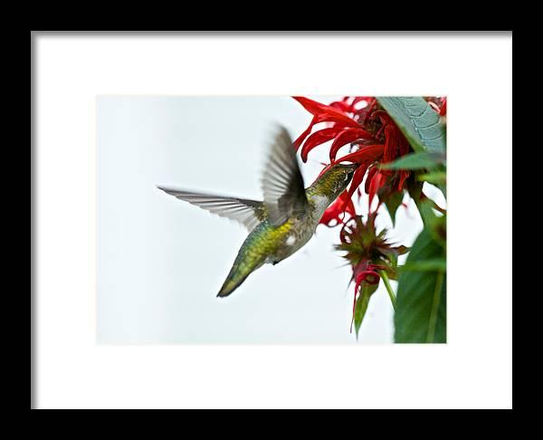 Birds Framed Print featuring the photograph Hummingbird Focused On The Scarlet Bee Balm by Kristin Hatt