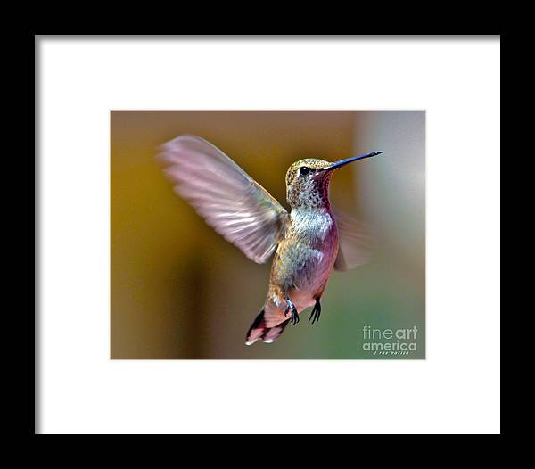Nature Framed Print featuring the photograph Hummingbird Frolic by Janice Pariza
