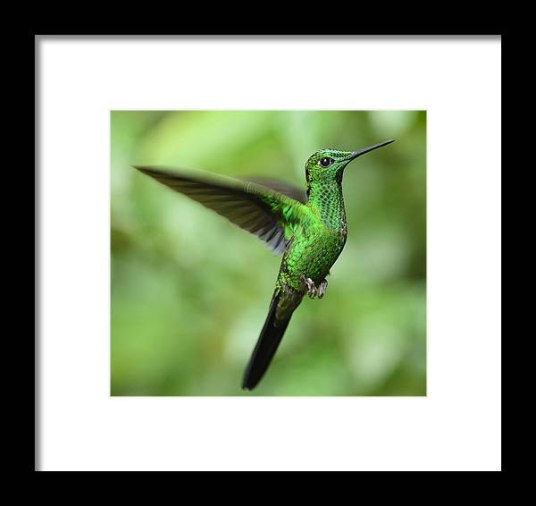 Central Costa Rica Framed Print featuring the photograph Hummingbird No 1 by Andy-Kim Moeller
