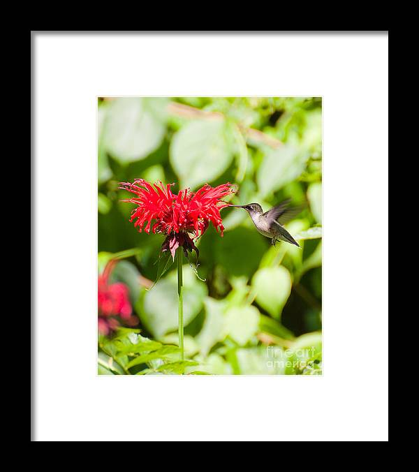 Nature Framed Print featuring the photograph Hummingbird by Wayne Valler