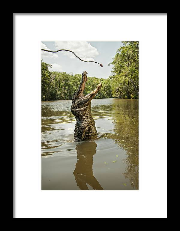 Alligator Framed Print featuring the photograph Hungry Alligator by Gayle Jenkins