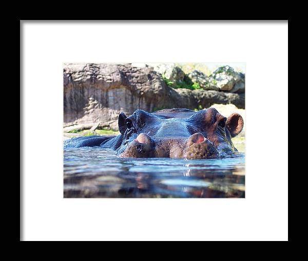 Hippo Framed Print featuring the photograph Hungry Hungry Hippo by Diana Child