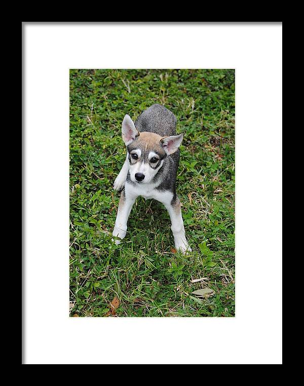 Puppy Framed Print featuring the photograph Husky Puppy by James Wampler
