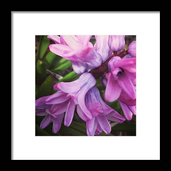 Flower Framed Print featuring the photograph Hyacinth Flower by Christy Beckwith
