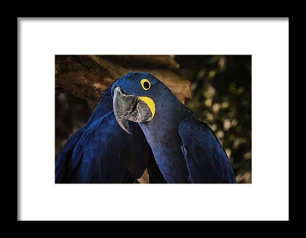 Joan Carroll Framed Print featuring the photograph Hyacinth Macaw by Joan Carroll