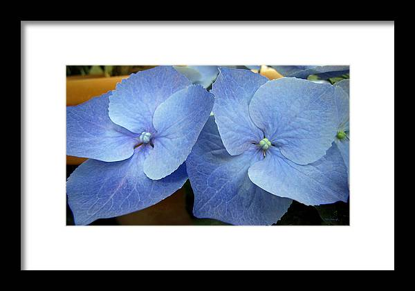 Duane Mccullough Framed Print featuring the photograph Hydrangea Flower Set by Duane McCullough