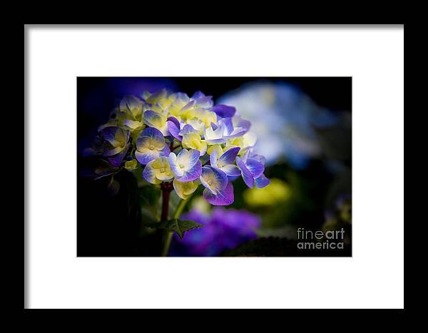 Hydrangea Framed Print featuring the photograph Purple Blue Hydrangea, Corona Del Mar California by Tirza Roring