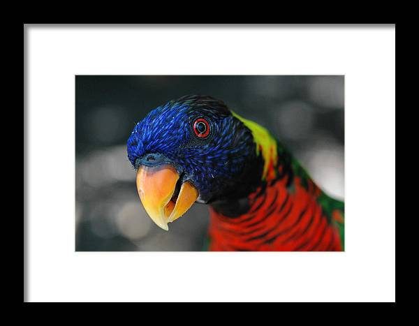 Bird Framed Print featuring the photograph Hypnotized Lorikeet by Jay Campbell