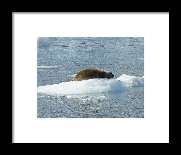Seal Framed Print featuring the photograph I Can Nap Anywhere by Lew Davis