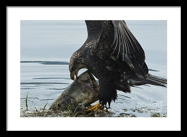 Eagle Framed Print featuring the photograph I Got It.... by Rod Wiens
