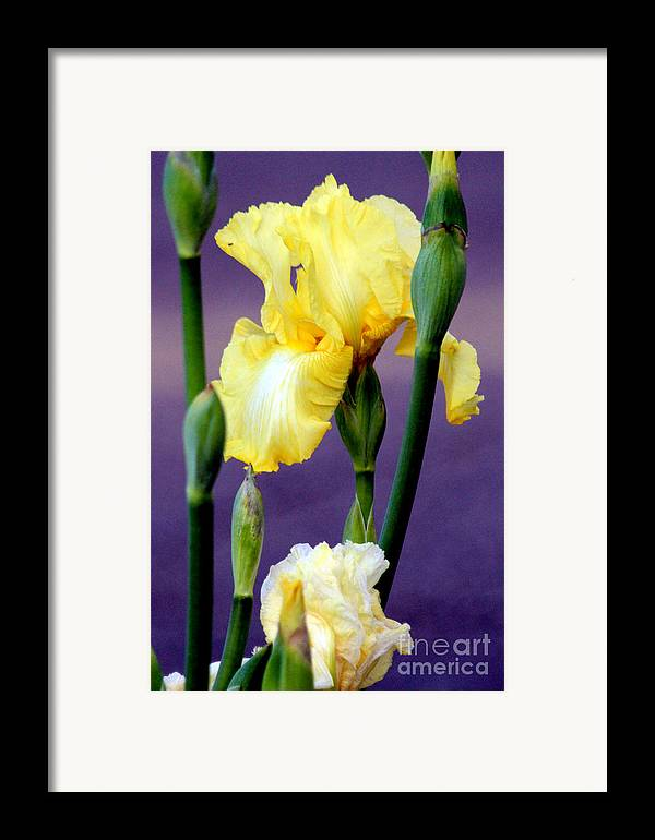 Yellow Bearded Iris Framed Print featuring the photograph I Only Have Iris For You by Kathy White
