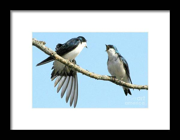 Swallows Framed Print featuring the photograph 'i Was Here First' by Frank Townsley