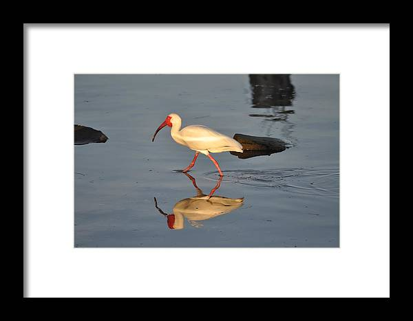 Ibis In Reflection Framed Print featuring the photograph Ibis In Reflection by Bill Cannon