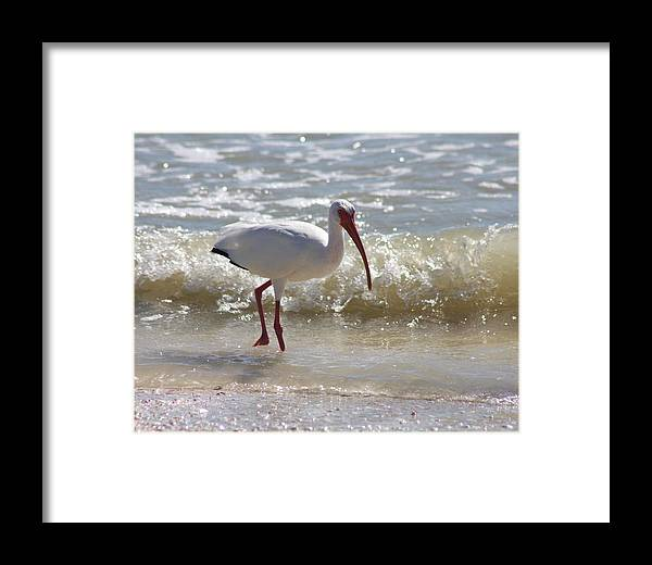 Ibis Framed Print featuring the photograph Ibis Walking The Beach by Christiane Schulze Art And Photography
