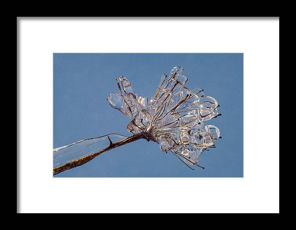 Ice Framed Print featuring the photograph Ice On Stems by Dawn Hagar