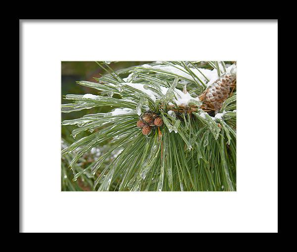 Pine Cone Framed Print featuring the photograph Iced Over Pine Cones by Tracy Winter