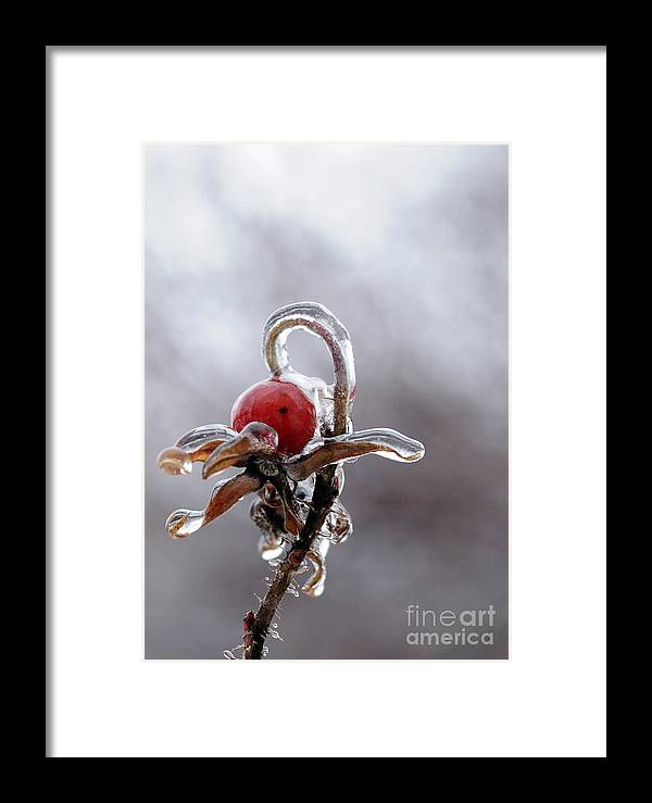 Ice Framed Print featuring the photograph Iced Rose Hips by Terri Winkler