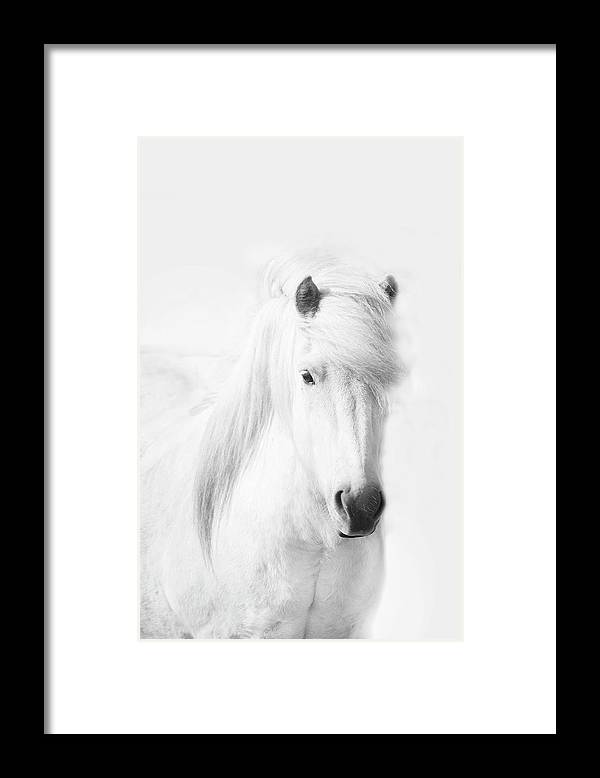 White Background Framed Print featuring the photograph Icelandic Pony In White by Grant Faint