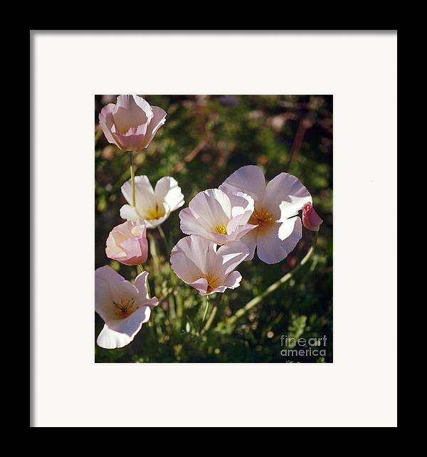 Flowers Framed Print featuring the photograph Icelandic Poppies by Kathy McClure