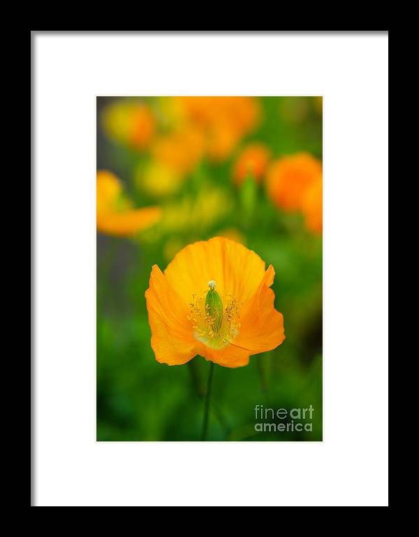 Poppies Framed Print featuring the photograph Icelandic Poppies by Lynne Sutherland