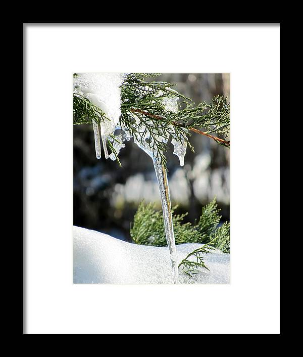 Icicles On Juniper Branch Framed Print featuring the photograph Icicles On Juniper Branch by Cynthia Woods