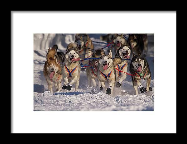 Snow Framed Print featuring the photograph Iditarod Huskies by Alaska Photography