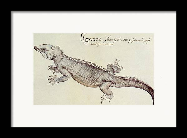 Iguana Framed Print featuring the painting Iguana by John White