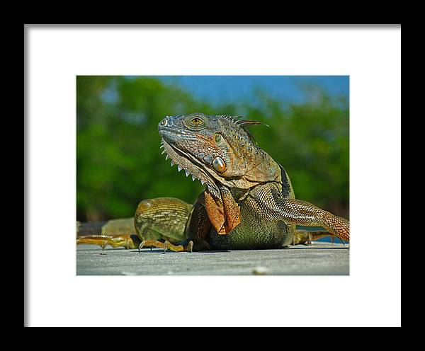 Animal Framed Print featuring the photograph Iguana by Juergen Roth