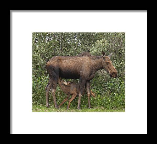 Alaska Framed Print featuring the photograph I'm Hungry by Al Sheldon