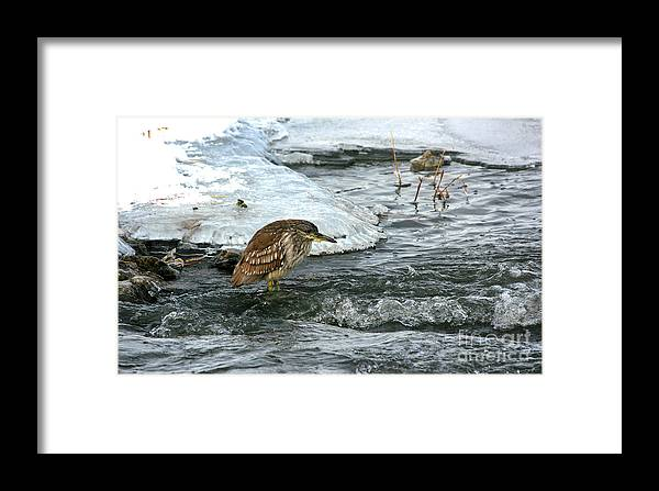 Fblack-crowned Night Heron Framed Print featuring the photograph Immature Night Heron by Marty Fancy