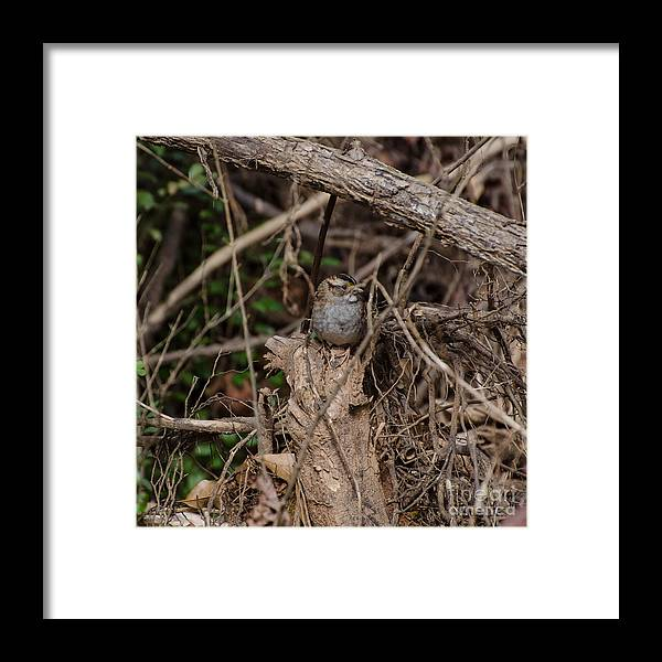Bird Framed Print featuring the photograph Immature White-throated Sparrow by Donna Brown