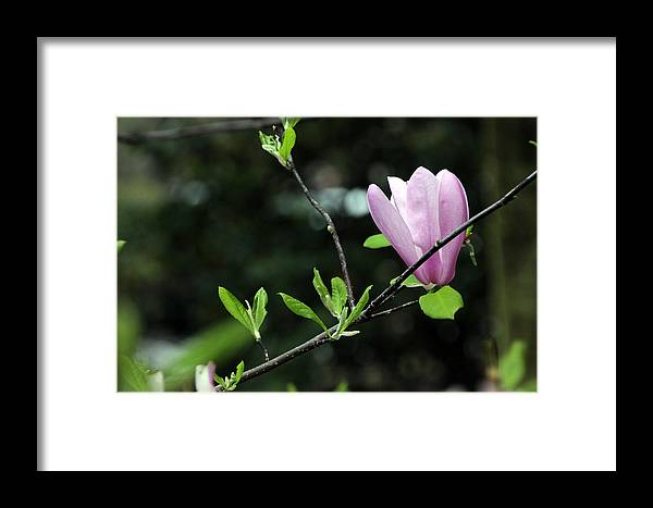 Azalea Framed Print featuring the photograph In Bloom by Carolyn Stagger Cokley
