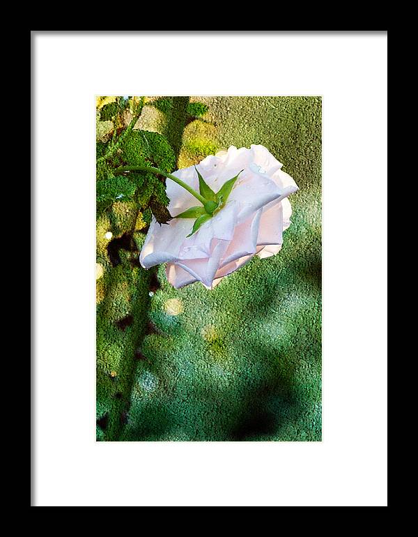 White Rose Framed Print featuring the photograph In Early Morning Light - White Rose by Marie Jamieson
