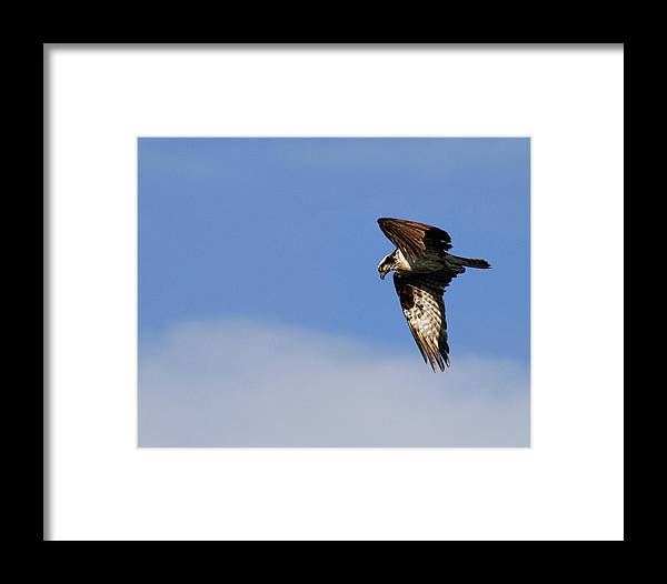 Osprey Framed Print featuring the photograph In Flight by Steve McKinzie