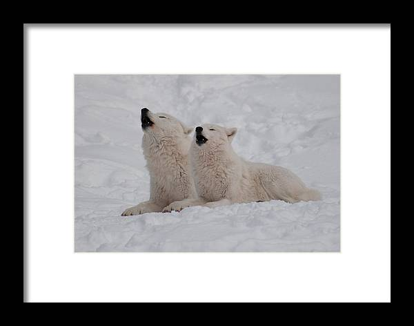 Arctic Wolf Framed Print featuring the photograph In Harmony by Bianca Nadeau