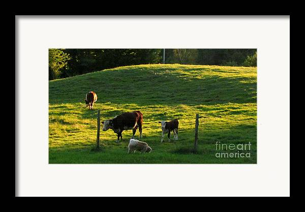 Cows Framed Print featuring the photograph In The Field by Randi Shenkman