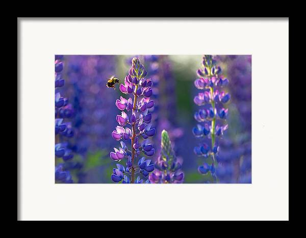 Lupine Framed Print featuring the photograph In The Land Of Lupine by Mary Amerman