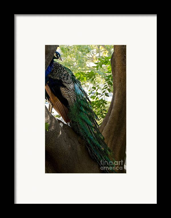 Peacock Framed Print featuring the photograph In The Shadows by Peggy J Hughes