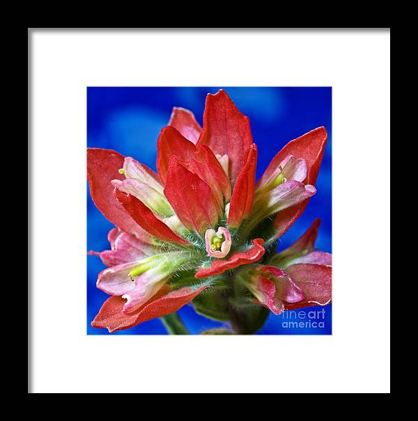 Indian Paintbrush Framed Print featuring the photograph Indian Paintbrush by Pattie Calfy
