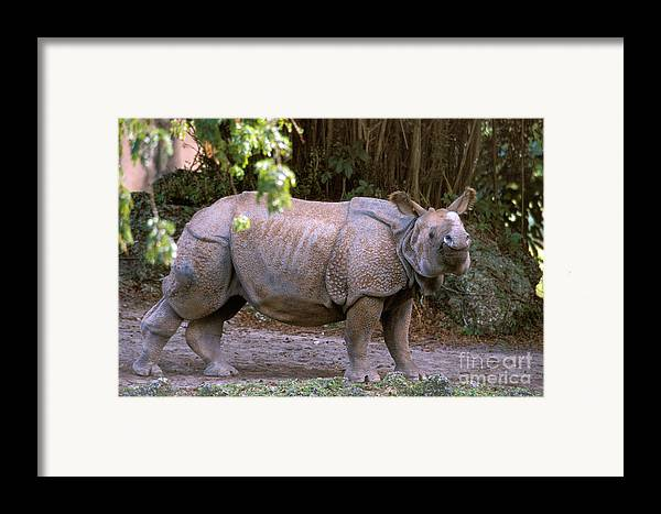 Indian Rhinoceros Framed Print featuring the photograph Indian Rhinoceros by Mark Newman