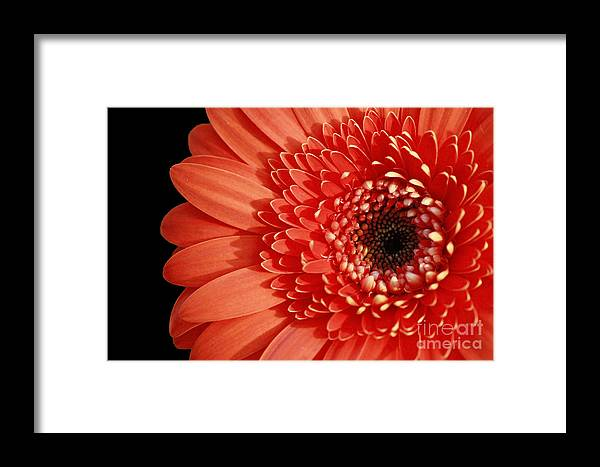 Inspired Essence Framed Print featuring the photograph Inspired Essence Gerber Daisy by Inspired Nature Photography Fine Art Photography