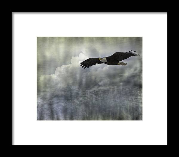 American Adult Bald Eagle Framed Print featuring the photograph Into The Heavens by Thomas Young