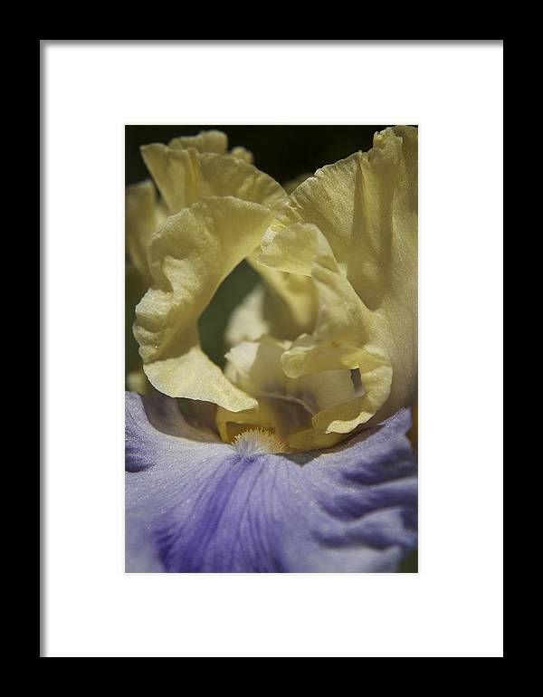 Stamen Framed Print featuring the photograph Bearded Iris Purple And Yellow by Lisza Anne McKee