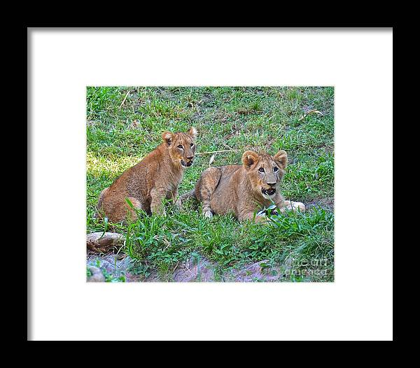 Lion Framed Print featuring the photograph Is It Time To Play Catch by Carol Bradley