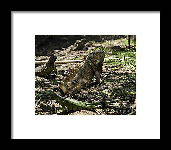 Caribbean Framed Print featuring the photograph Island Lizards Four by Ken Frischkorn