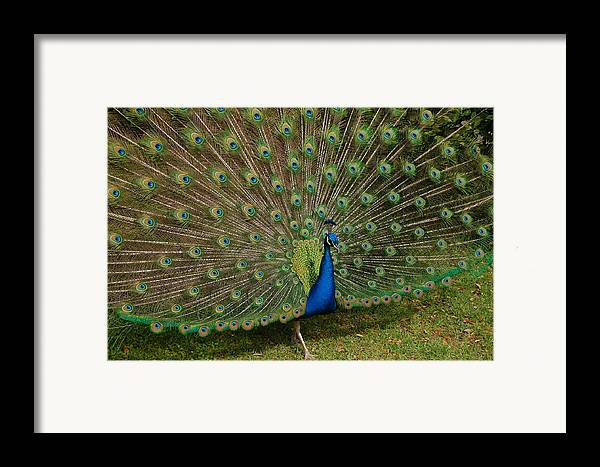 Peacock Framed Print featuring the photograph Its All About Him by Suzanne Gaff