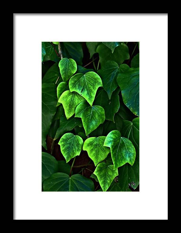 Ivy Framed Print featuring the photograph Ivy Leaves by Elery Oxford