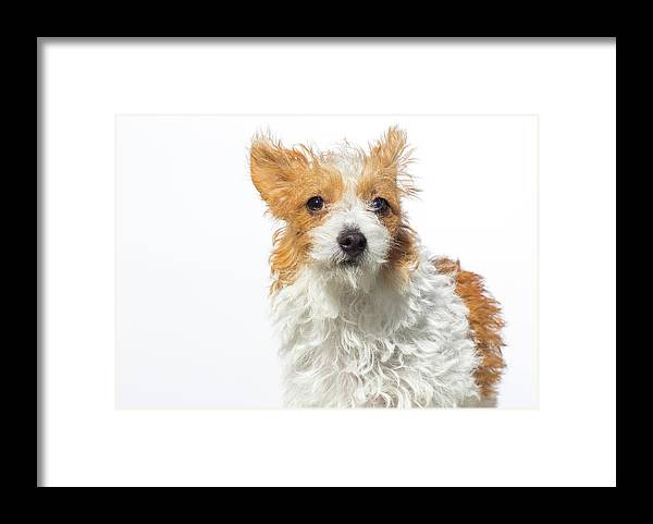 Pets Framed Print featuring the photograph Jack Russell Terrier - The Amanda by Amandafoundation.org