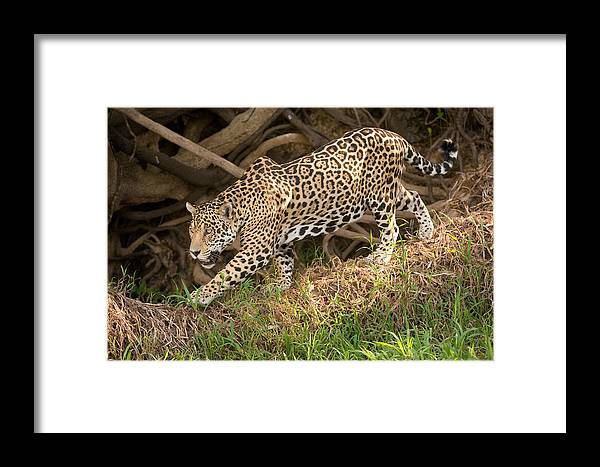 Photography Framed Print featuring the photograph Jaguar Panthera Onca Foraging by Panoramic Images